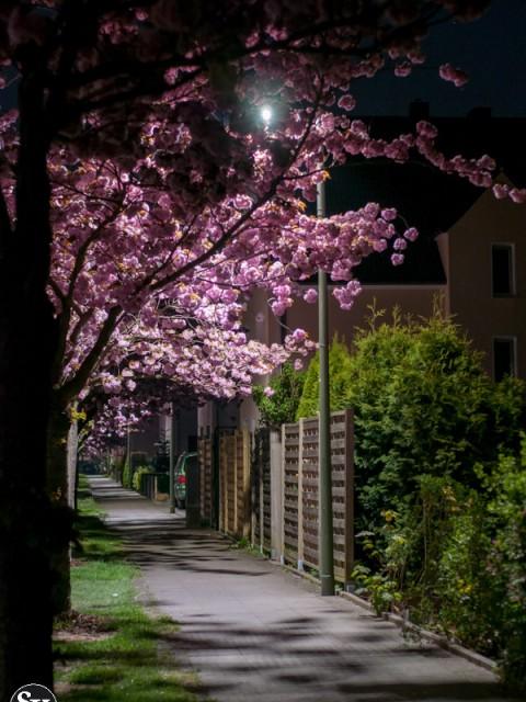 Kirschbluete Auf dem Langen Kampe